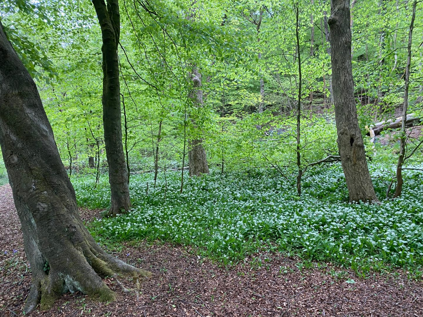 Wild garlic grows in woodland and on riverbanks